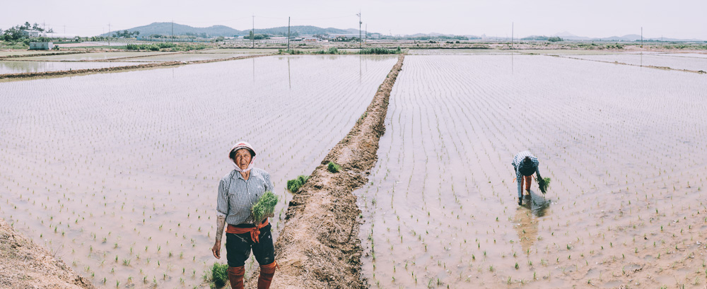 Rice Planting - Korea Photographer